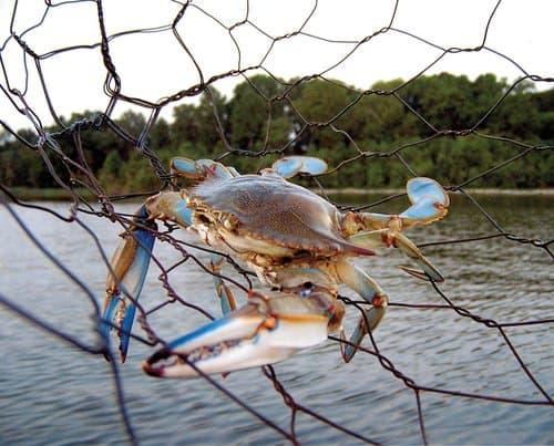 A Chesapeake Bay Blue Crab