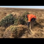 VIDEO: Old Christmas Trees Get New Life on Poplar Island