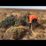 VIDEO: Old Christmas Trees Get New Life on Poplar Island