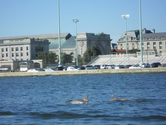 Dolphins near the Naval Academy seawall in 2016. Photo: John Agius/Maryland Fisheries Service DNR