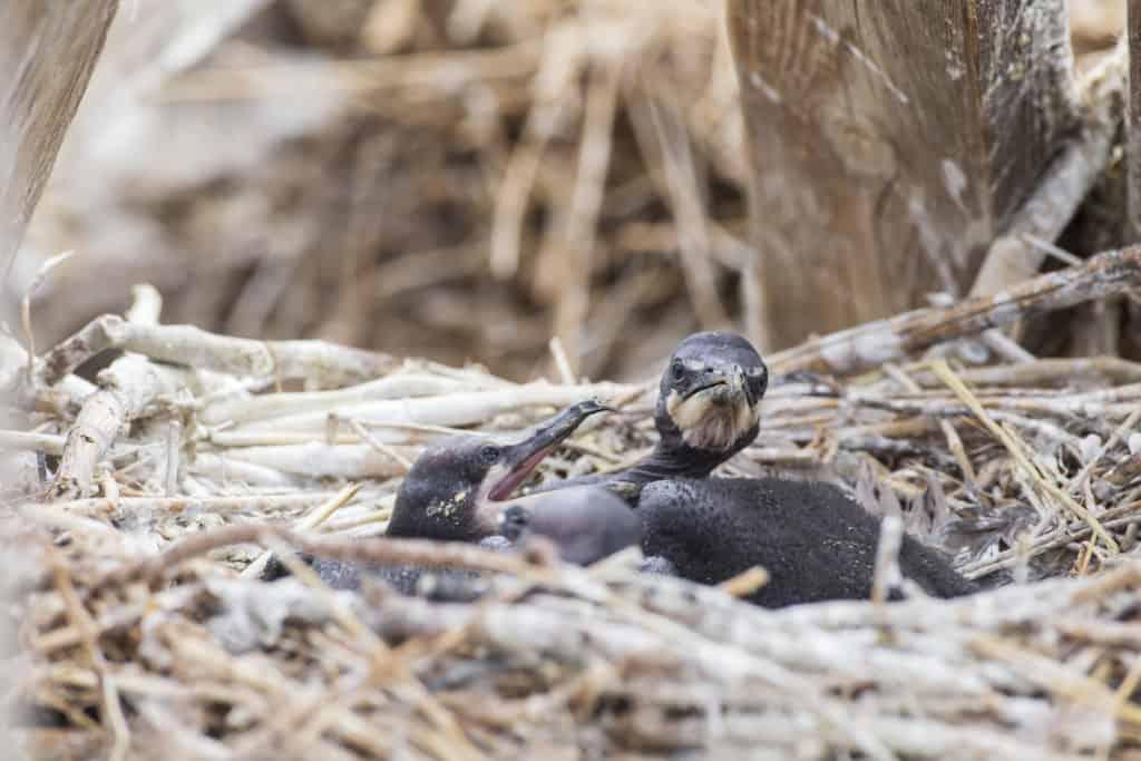 Cormorant chicks in  the nest