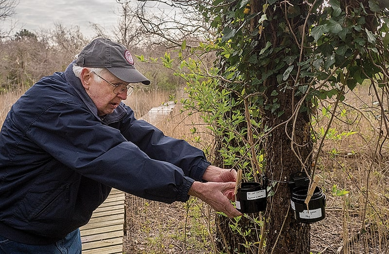 """Ted Suman, a retired entomologist volunteering at the Horn Point Laboratory, regularly collects """"ovicups"""" placed around the Cambridge campus to secure a fresh batch of mosquito eggs for use in the experiment once they hatch into larvae. (Photo: Dave Harp)"""