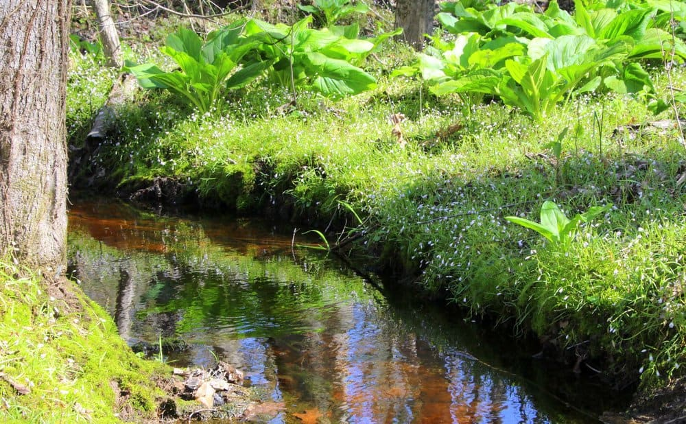 Native plants like skunk cabbage help prevent erosion, and slow and filter runoff before it enters the water table.  Photo by Kellen McCluskey