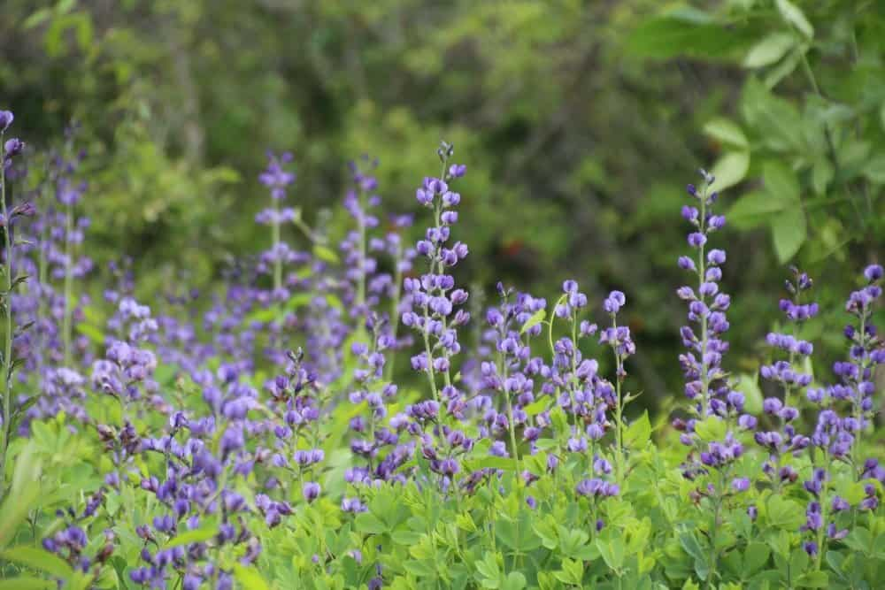 Wild blue indigo ( baptisia australis ) blooms in May in alluvial thickets, stream banks and sandy floodplains in the Chesapeake Bay watershed.  Photo by Kellen McCluskey