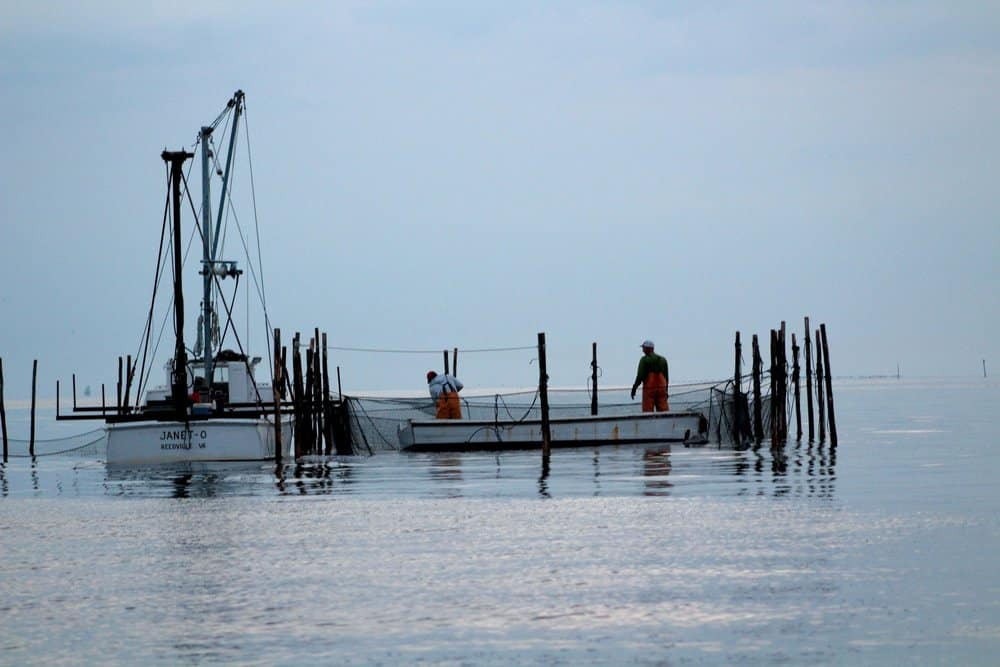 Reedville watermen working a pound net under the morning sun.