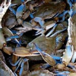 Bay Blue Crab Population Up 60 Percent in Winter Survey