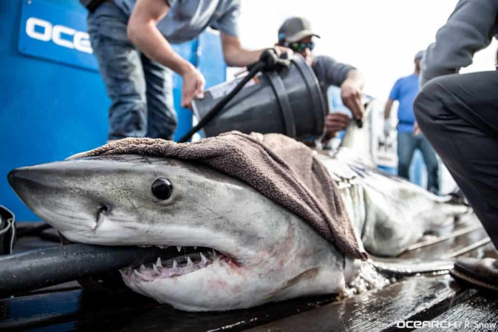 Great White Shark Tracked Through Ocean City Chesapeake Bay Magazine