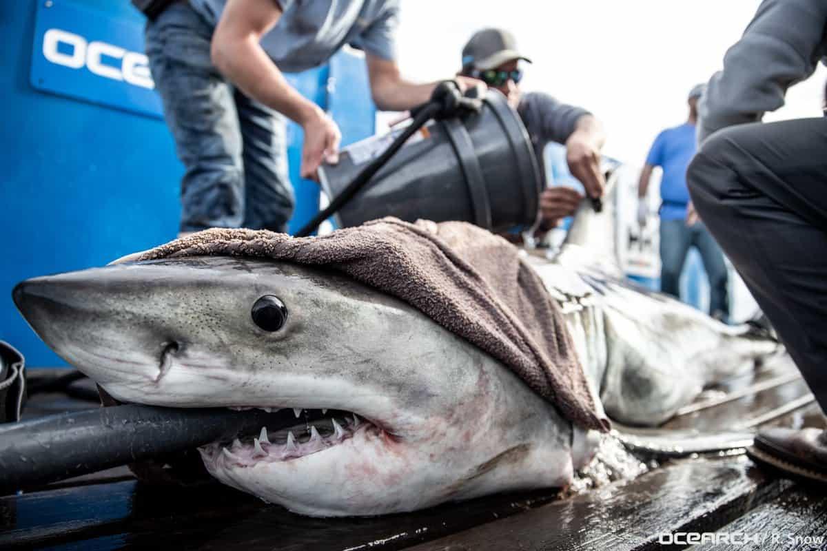 Great White Shark Tracked Through Ocean City | Chesapeake Bay Magazine