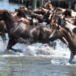 "Chincoteague Loses Last Four ""Swamp Cancer""-Infected Ponies"