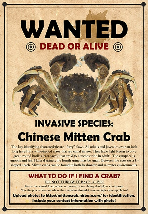 Wanted: Invasive Mitten Crab Still Lurking In The Bay