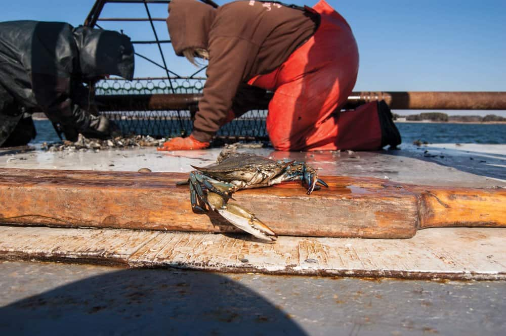 The Count: Winter Crab Dredge Survey Predicts Bay Harvest