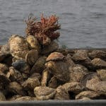 Have Your Say on First Md. Oyster Fishery Update in Nine Years