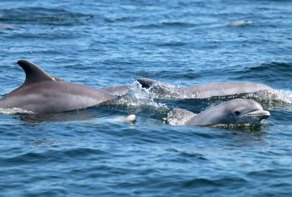 Bottlenose dolphins and their calves in the Potomac River. Photo: NMFS PERMIT NO. 19403