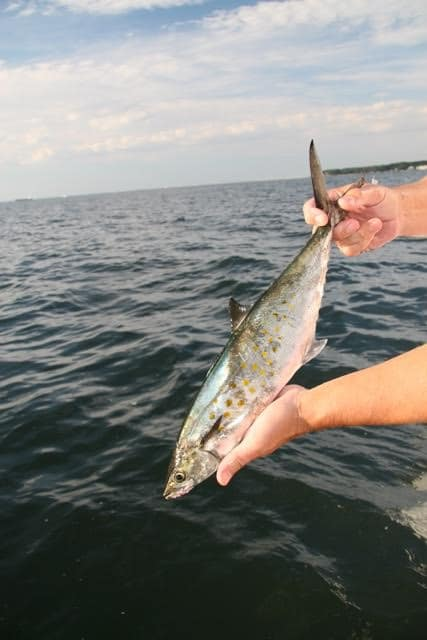 Spanish mackerel fishing is good in both Virginia and Maryland waters right now. (Photo by Chris D. Dollar)
