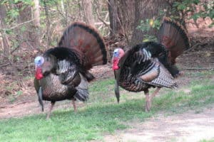 Wild Chesapeake: Near-Record Spring Turkey Season