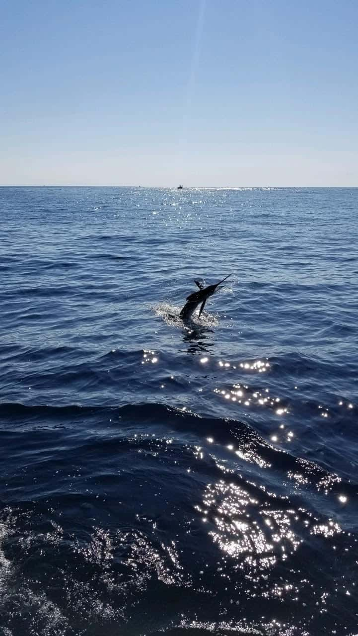 White marlin lit up offshore waters in recent days, offering the season's last shot at a billfish. (Photo courtesy of Richard Hammond)
