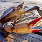 Study: Shorter Winters Will Grow Bay Crab Population