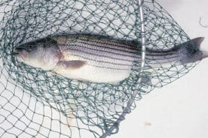 Striped Bass Catch Limit Options: Have Your Say