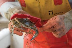 Poor Crab Harvest in Upper Bay, Low Salinity Blamed