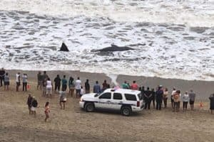 Stranded Sperm Whale Dies on Ocean City Beach