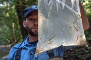 Rare Fish Reintroduced on Susquehanna River