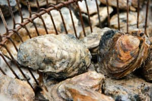 Md. Oyster Harvest 30% Cuts Proposed