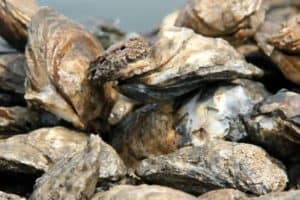 Dorian Prompts Oyster Harvest Emergency Closures