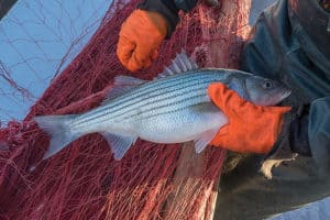 One Rockfish per Day: Va. Lowers Striped Bass Limits