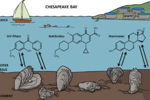 Sunscreen Chemicals Found in Bay Oysters