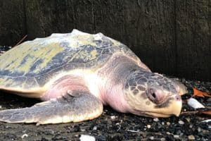 Sea Turtle Rescued from St. Michaels Harbor