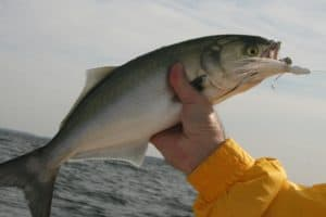 Cuts Coming to Bluefish Recreational Fishing Limits