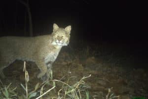 Ultra-rare Bobcat Sighting in Washington, D.C.