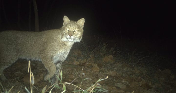 Ultra-rare Bobcat Sighting in Washington, D.C.