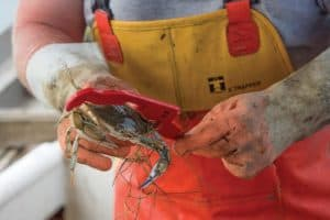 Study: Male Crab Harvest May Squeeze Female Reproduction