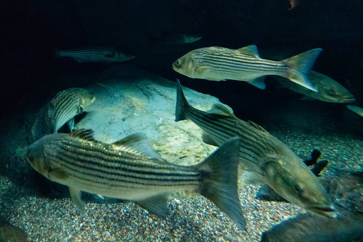 Weigh in on Md. Rockfish Recreational Limits