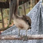 Va. Wildlife Rescue Saves Pelican Tangled in Fishing Line