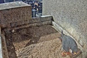 Peregrine Falcon Egg Watch Underway in Baltimore
