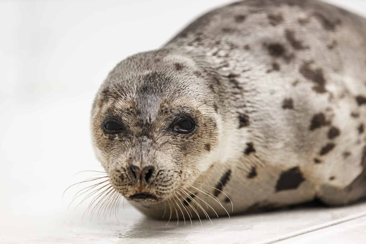 Harp Seal Rescued in Ocean City Recovering