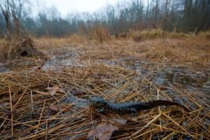 Endangered Md. Salamander Population Surges