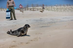 VIDEO: Rehabilitated Grey Seal Returned to Assateague Waters