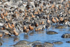 Blue Bloods  & Red Knots