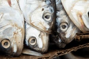 Historic Vote on Menhaden Brings Va. into Compliance