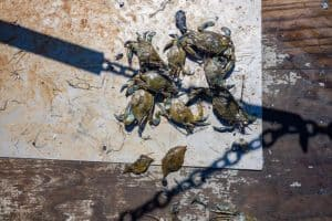 Survey: Blue Crab Population