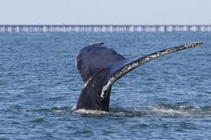 Study: Humpbacks at Risk of Ship Strikes in Mouth of Bay