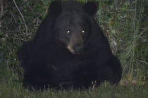 Black Bear Killed at Havre de Grace Waterfront