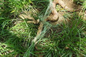 Copperhead Found Trapped in Netting near Susquehanna Jogging Path