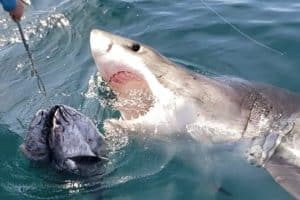 VIDEO: Close Encounter with Great White Shark off Ocean City