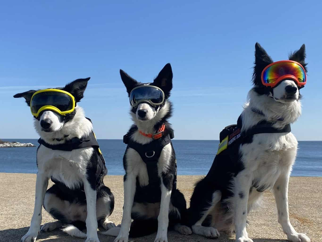 One Cool Thing: Border Collies Help Relocate Birds from VA Construction Project