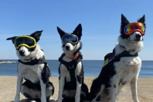 Herding Dogs Help Relocate Birds from Hampton Roads Construction