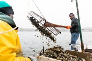 Md. Wild Oyster Harvest Doubles from Last Year